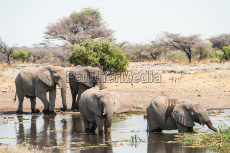 elephants stand in the water while