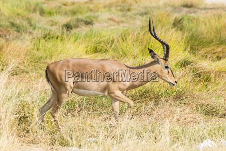 black nose impalaaepyceros melampus petersiblackfaced impala
