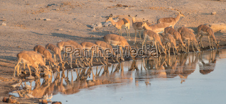 impala herd while drinking at the