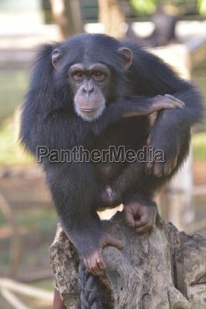 schimpanse pan troglodytes verus tacugama chimpanzee