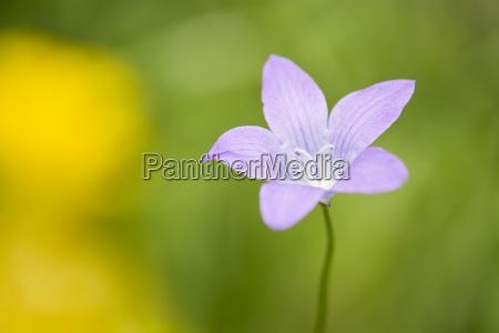 wiesen glockenblume campanula patula bluehend