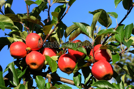 red apples on the tree germany