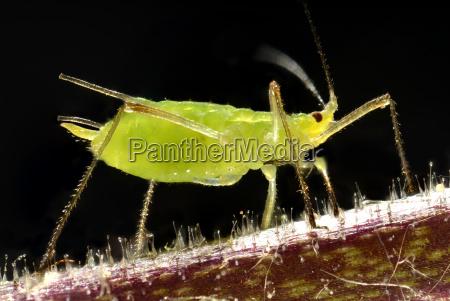 adulte erbsenlaus acyrthosiphon pisum roehrenblattlaus aphidoidea