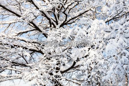 schneebedeckte eichenzweige im waldpark