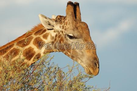 giraffe die sich von einem baum
