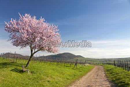 almond tree blossom in the south
