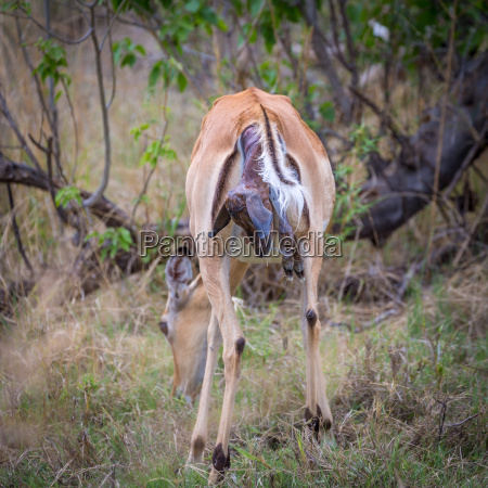 impala aepyceros melampus female at birth