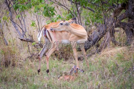 impala aepyceros melampus weibchen unmittelbar nach