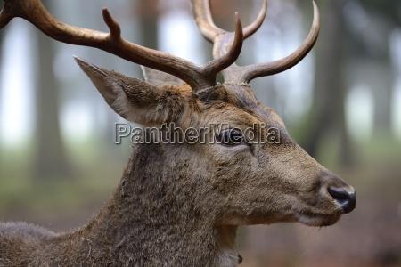 fallow deer dama dama portrait male
