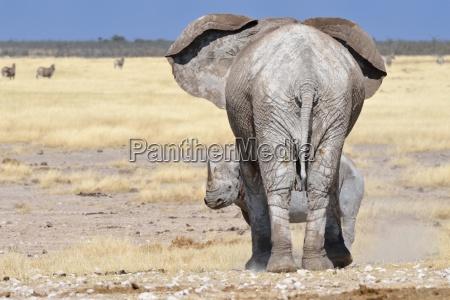 african elephant loxodonta africana adult female