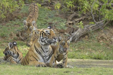 wild tigress with cubs