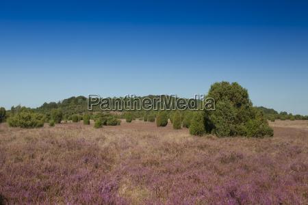 landschaft mit bluehender heide calluna vulgaris