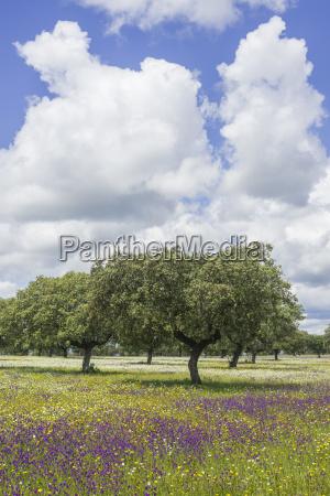 steineiche quercus ilex und blumenwiese