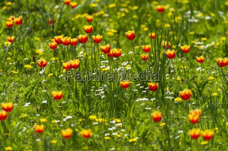 rot gelbe tulpen tulipa auf einer