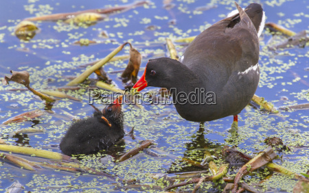 common moorhen gallinula chloropus feeding a