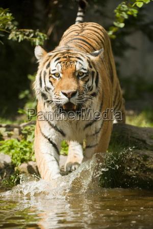 siberian tiger or amurtiger panthera tigris
