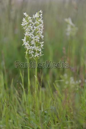 white forest hyacinth platanthera bifolia emsland