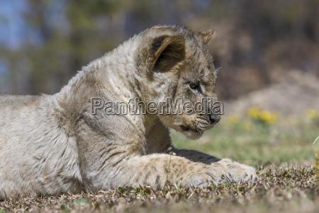 lowe panthera leo jungtier