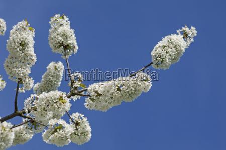 cherry blossoms prunus avium against blue