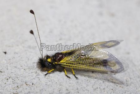 butterfly like libelloides sp fam nettle