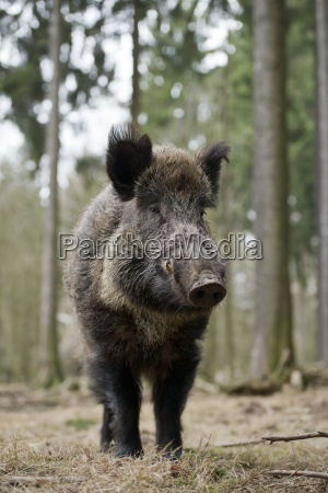 wild boar sus scrofa wedge with