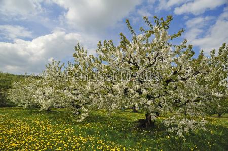 blossoming cherry trees prunus avium on