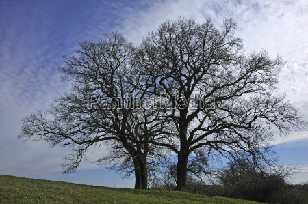 two bald oak trees quercus against