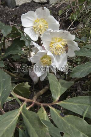bluhende christrose oder schneerose helleborus niger