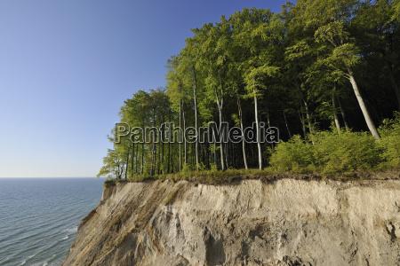 kreidefelsen und rotbuchenwald fagus sylvatica im