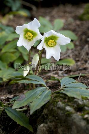 im winter bluehende christrosen helleborus niger