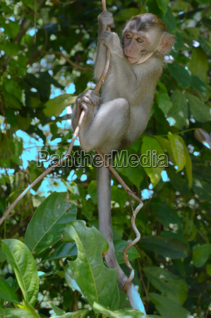baby crab eating macaque long
