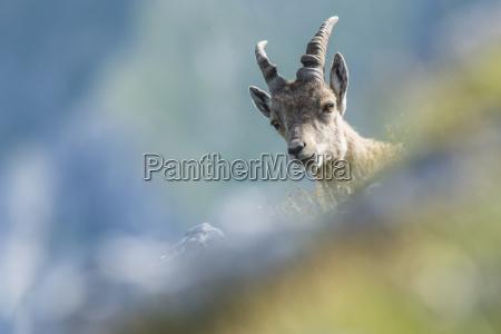 steinbock capra ibex jungtier schaut