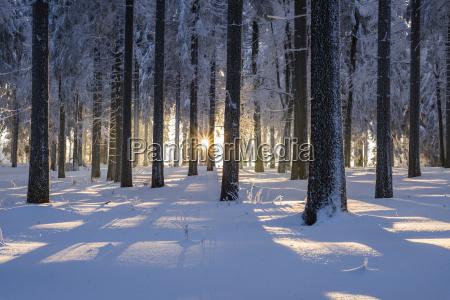 verschneiter fichtenwald picea abies bei sonnenuntergang