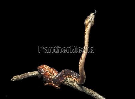 madagaskar hundskopfboa sanzinia madagascariensis jungtier familie