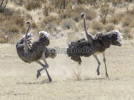 afrikanische strausse struthio camelus jagen einander