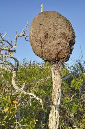 termitenbau auf abgestorbenem baum las coloradas