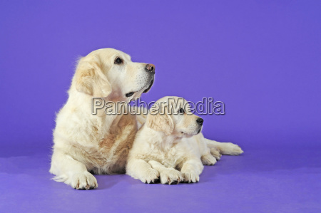 golden retriever lying dog and puppy