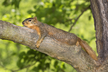fox squirrel sciurus nige resting in