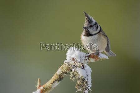 crested tit parus cristatus adult bird