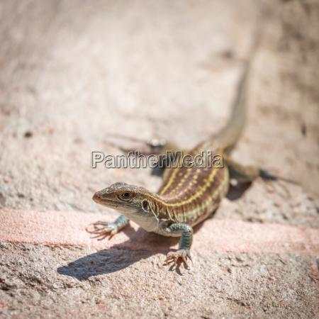 desert spiny lizard sceloporus magister