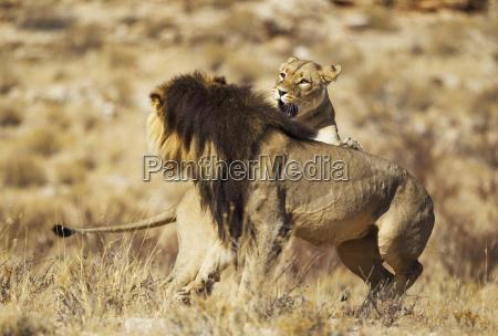 lion panthera leo female in heat