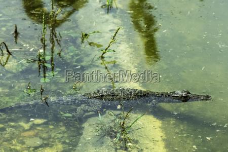 sumpf krokodil kuba kubaner endemisch kubanisch