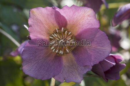 bluete einer christrose schneerose helleborus niger