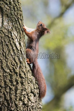young squirrel sciurus vulgaris climbs on