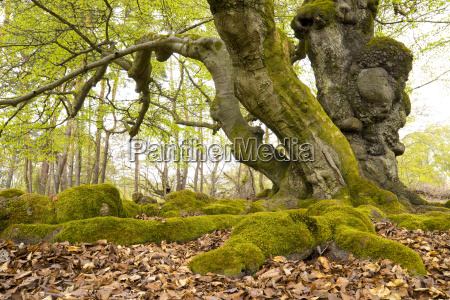 old beeches fagus sylvatica hatches hutewald