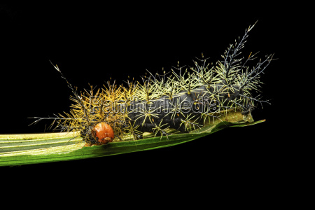 neotropical butterfly caterpillar with spines of