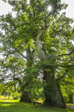 alte eichen quercus robur schlossgarten