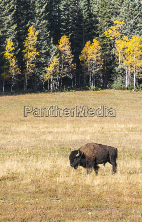 beefalo or cattalo cross between north