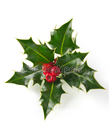 photo of holly leaves with red