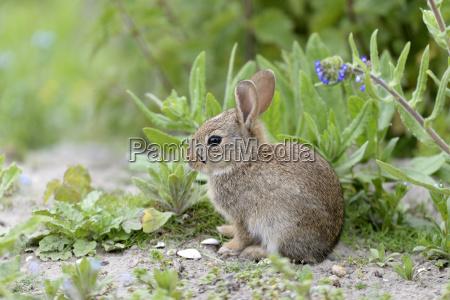 wild rabbit oryctolagus cuniculus young animal